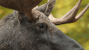 Dog Saves Owner from Charging Moose