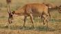 85,000 Rare Antelopes Perish in a Few Weeks — On Edge of Extinction
