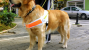 Service Dog Risks his Life to Save a Blind Man and Inspires Donations