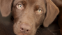 Chocolate toxicity in cats and dogs