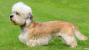 The Dandie Dinmont Terrier