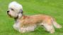 The Dandie Dinmont Terrier