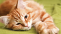 Demodicosis in Cats