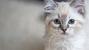 Feline Heartworm Disease