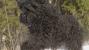 Black Russian Terrier running through the snow