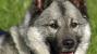 The Norwegian Elkhound