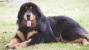 The Tibetan Mastiff