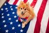 small dog on american flag