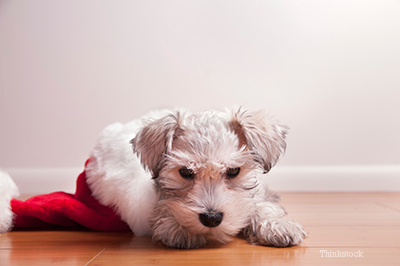 Puppy laying inside a Santa hat