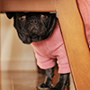 Pug wearing a dog sweater