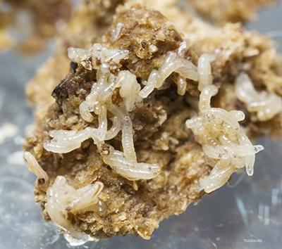 Beetle maggot