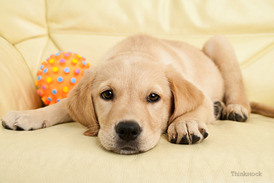 Yellow lab puppy laying on couch