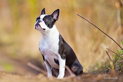 Boston terrier outside