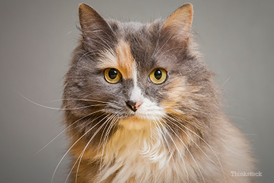 Tri-colored longhaired cat