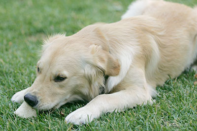 Sad dog lying in grass